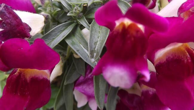 Significato della bocca di leone nel linguaggio dei fiori for Bocca di leone in vaso