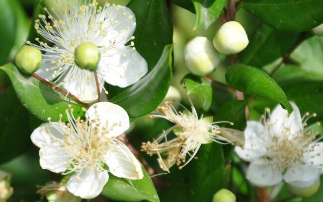 Significato del mirto nel linguaggio dei fiori for Pianta mirto