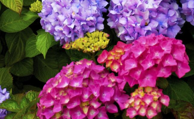 Significato dell 39 ortensia nel linguaggio dei fiori for Colore ortensia