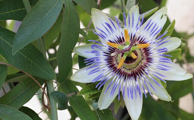 Significato Della Passiflora Nel Linguaggio Dei Fiori